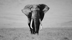 Black And White Elephant - Animal Wild Nature Wall Art Poster / Canvas Pictures