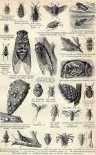 Antique print true bug snavelinsect Hemiptera 1904