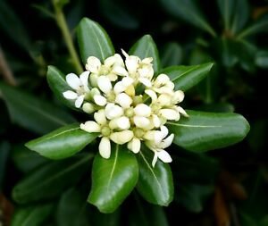 JAPANESE CHEESEWOOD Pittosporum Tobira x50 seeds Tree Flowering Mock orange bio