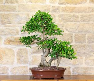 Common Fig Bonsai Ficus Carica Tropical House Plant 15 Fresh Rare Seeds