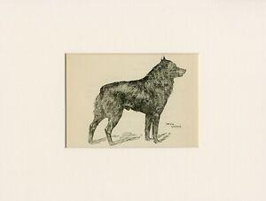 SCHIPPERKE RARE 1912 ANTIQUE DOG PRINT by ARTHUR WARDLE READY MOUNTED