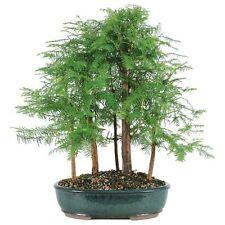 The Astonishing Relic Dawn Redwood 5 Tree Grove Bonsai (Outdoor)