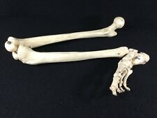 "VINTAGE ANATOMICALLY CORRECT MEDICAL MODEL 34"" RIGHT LEG BONE AND FOOT. JOINTED."