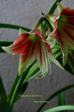 Hippeastrum Emerald  x bukasovii   - 10 seeds