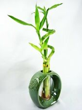 Live Spiral 3 Style Lucky Bamboo Plant w/ Green Round Ceramic Vase Decor Gift