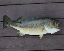"""Real 19"""" inch Largemouth Bass 
