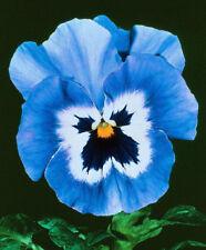 35+ Pansy Light Blue Joker, Viola Flower Seeds, Cool Weather Perennial, Hardy!