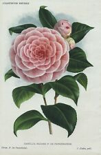 1885 CAMELLIA MADAME Genuine Antique Botanical Print LINDEN