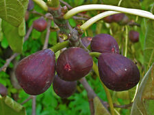 FIG TREE, OLYMPIAN, SWEET DELICIOUS PURPLE FRUIT, COLD HARDY, LIVE PLANT