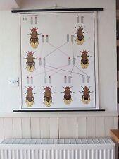 VINTAGE Pull Down école tableau mural génétique héréditaire Drosophila biologie
