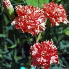 30+ Carnation Avranchin Red/White Evergreen Perennial Flower Seeds / Gift
