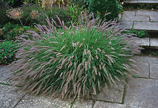 Pennisetum Hardy Ornamental Grass Garden Plant 1 x 9cm Potted Plant T&M