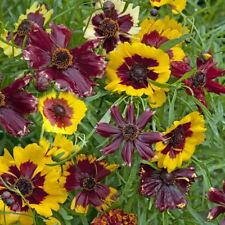Kings Seeds - Flower - Coreopsis Incredible Dwarf Mixed - 400 Seeds