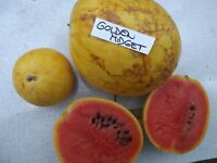 Wassermelone Golden Midget 5+ Samen - FEIN und BESONDERS!