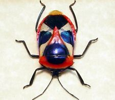 Real Framed Catacanthus Nigripes Red Blue Man Face Beetle 7895