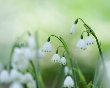 Sommer-Knotenblume•5 Samen/seeds •Leucojum aestivum•Summer Snowflake•winterhart