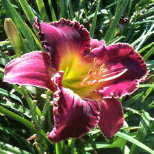 Daylily NEW EVERY MORNING reblooming rose red hemerocallis ~ DF or 2 Plants