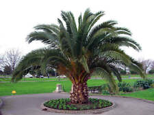 Fresh Phoenix Canariensis Seeds Canary Island Date Palm Plant Tree Seed