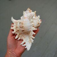 "Murex Ramosus Seashell Large 6 to 6.5"" Shell"