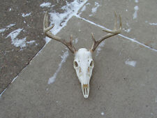 Deer Skull,Buck Deer,Native,Science,Europ ean Mount,Taxidermy,Education , Antler