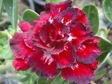 Adenium Obesum Desert Rose 'Thailand' 5 Rare Seeds