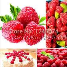 1000x rouge framboise Graines-Délicieux Framboise-FINEST SEEDS