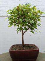 Flowering Winter Jasmine Bonsai Tree Ebay