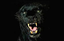 Stampa incorniciata-Nero JAGUAR (Animale Immagine Poster Pantera Tigre Leone Big Gatto)