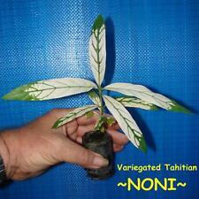 ~NONI~ Variegated Tahitian Morinda Citrifolia Fruit Tree 12-18+in Potted Plant