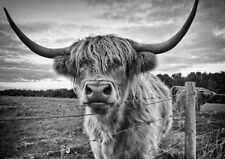 SCOTTISH HIGHLAND COW * QUALITY CANVAS PRINT