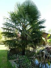 Lot de 50 graines ⚡⚡⚡ ⚡⚡⚡ Palmier Thrinax radiata