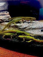 Salamander Newt Aquatic Fresh Water For Pond Or Aquarium