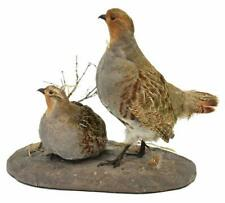 Taxidermy, Partridge, Hungarian, Mount, Decorative, Handsome Decor!