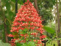 *Rare* Buttefly Red Pagoda Chandalier Flower Plant (10 seeds)