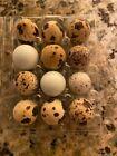 14 Assorted Coturnix Quail Hatching Eggs