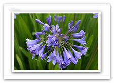 beautiful purple,lilac,agapanthus small/med pot, multiple plants per pot $24.95