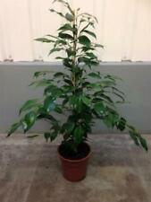 Ficus Pflanzen, Zimmerpflanzen