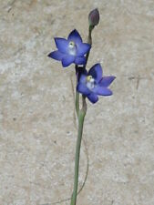 Thelymkitra aff. frenchii, Aust. deciduous terrestrial orchid species - 3 tubers