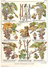 DIFFERENT TYPES OF WINE GRAPE MALADIES  original 1900 vintage Chromolithograph