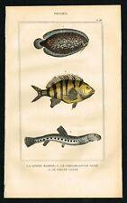 1844 Fishes, Finless Sole, Magpie Perch, Barbatula, Hand-Colored Antique Print