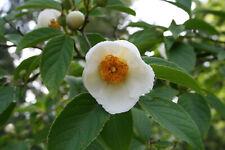 Japanische Scheinkamelie Stewartia pseudocamellia Pflanze 35-40cm Sommerkamelie