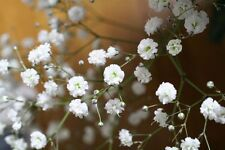 Gypsophila paniculata Flower Seeds from Ukraine