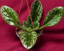 """Primulina Naine Argente 6"""" Pot Gesneriad Plant Chirita African Violet Relative"""