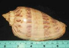 130 mm Cymbiolista Hunteri Volute Seashell Sea Shell