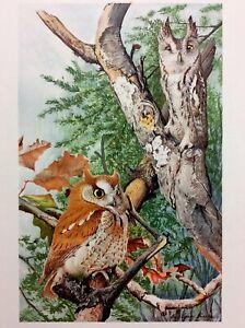 Antique 1901 LOUIS AGASSIZ FUERTES Beautiful Bird Print SCREECH OWL