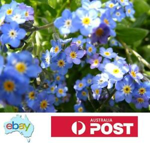 FORGET ME NOT BLUE MIST FLOWERS - 300 SEEDS - AUSTRALIAN STOCK