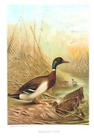 1885 Prang Chromo  MALLARD DUCK BIRD/Birds WONDERFUL COLOR PRINT L@@K!
