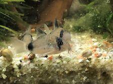 6 Panda Corydoras Live Tropical Fresh Water Aquarium Fish Tank Cory Catfish