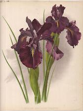 ENGLISH IRIS LEON TOLSTOI - BOTANY 1894 Guillaume Severeyns CHROMOLITHOGRAPH