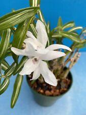 Dendrobium moniliforme Fragrant Variegated Orchid Species 3� Pot (12)